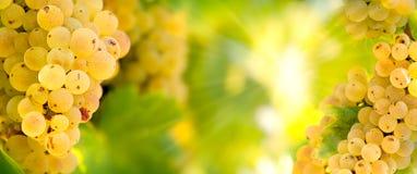 葡萄蕾斯霖在葡萄树的葡萄酒在葡萄园里-葡萄树的 免版税库存照片