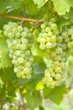 葡萄蕾斯霖白葡萄酒 库存图片