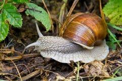 葡萄蜗牛 库存照片