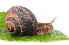 葡萄螺旋pomatia蜗牛 免版税库存照片