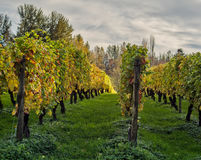 葡萄行在秋天阳光下 库存照片