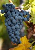 葡萄被收获的准备好 免版税库存图片