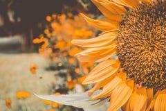 葡萄酒向日葵,开花的向日葵,染黄花,向日葵领域 免版税库存图片
