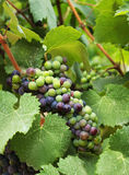 葡萄酒在葡萄园里 库存图片