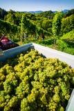 葡萄酒在葡萄园里 免版税库存照片