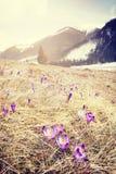 葡萄酒在Chocholowsk过滤了第一朵春天番红花的图片 免版税库存图片
