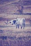葡萄酒定了调子吃草在一个干燥秋天牧场地的得克萨斯长角牛 免版税库存照片