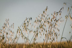 葡萄酒抽象燕麦茎,软的焦点 库存图片