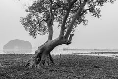 葡萄酒树美洲红树森林与雾和软的锂的早晨 图库摄影