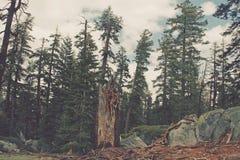 葡萄酒样式图象残破的树在风暴, Yosem以后的森林里 免版税库存图片