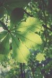 葡萄酒样式图象-在老kashtan树的绿色叶子 有用 库存照片