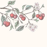 葡萄酒樱桃背景 向量例证