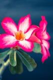 葡萄酒沙漠玫瑰色花 库存图片