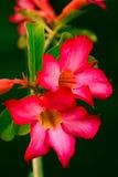 葡萄酒沙漠玫瑰色花 免版税图库摄影