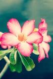 葡萄酒沙漠玫瑰色花 图库摄影