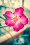 葡萄酒沙漠玫瑰色花 免版税库存照片