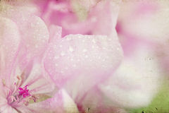 葡萄酒照片桃红色花(大竺葵)与浅dof 免版税库存照片