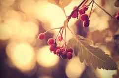葡萄酒照片红色莓果 图库摄影