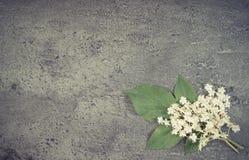葡萄酒照片,接骨木浆果开花与在混凝土,文本的拷贝空间结构的叶子  免版税库存图片