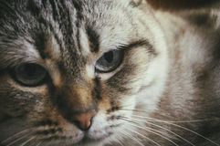葡萄酒猫 免版税库存图片