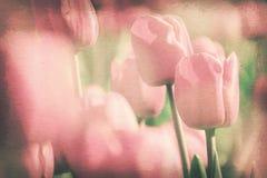 葡萄酒纸纹理,甜桃红色郁金香在庭院里 免版税库存照片