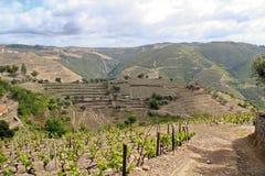 葡萄酒葡萄园风景 免版税图库摄影