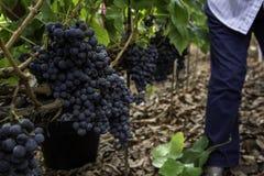 葡萄酒葡萄 图库摄影