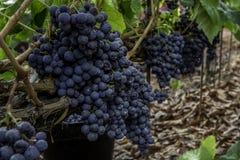 葡萄酒葡萄 免版税库存图片