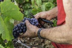 葡萄酒葡萄 免版税库存照片