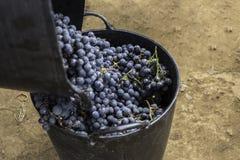 葡萄酒葡萄 免版税图库摄影