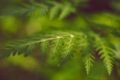 葡萄酒软的绿色蕨在与bokeh的被弄脏的背景生叶 免版税库存照片