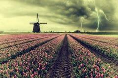 葡萄酒郁金香的荷兰领域 免版税库存照片