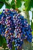 葡萄酒酿造葡萄 免版税库存照片