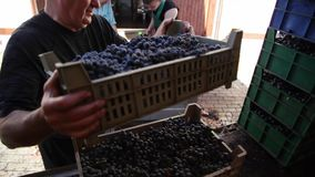 葡萄酒酿造 葡萄酒酿造 紧压汁液从葡萄 股票录像
