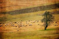 葡萄酒绵羊和草甸全景风景 免版税库存图片