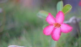 葡萄酒Pictuer在庭院的桃红色花 免版税库存图片