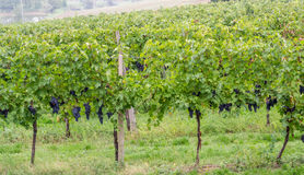 葡萄领域在意大利 免版税库存图片