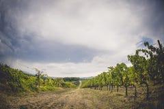 葡萄领域在托斯卡纳,意大利 免版税图库摄影