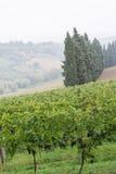 葡萄领域风景 库存照片