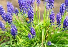 葡萄风信花(穆斯卡里armeniacum)在春天 库存图片