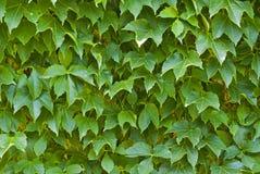 葡萄鲜绿色的叶子  免版税库存图片