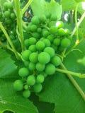 葡萄,束,绿色 免版税库存照片