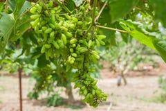 葡萄,白色蕾斯霖葡萄,莓果,赤霞珠Gra 库存照片