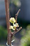 葡萄,葡萄树新芽  发芽在Th的新的叶子 免版税库存照片