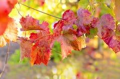 葡萄离开明亮的秋天 免版税图库摄影