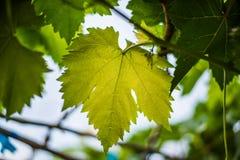 葡萄离开绿色 免版税库存图片