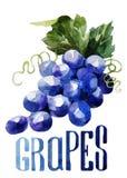 葡萄 手在白色背景的图画水彩与标题 向量例证