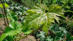 葡萄绿色叶子 免版税库存图片