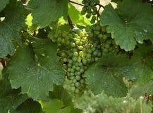 葡萄 | 葡萄园 免版税库存照片