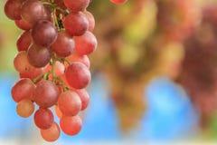 葡萄 免版税图库摄影
